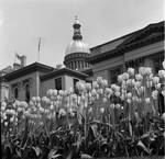 Tulip garden in front of State House, Trenton, New Jersey