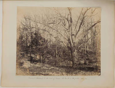 Ancient Chestnut to the East of Drive; A. Booth in the path; winter